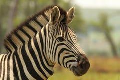 De Zebra van Burchell in Zuid-Afrika Stock Fotografie