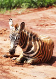 De zebra van de baby Royalty-vrije Stock Foto's
