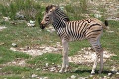 De Zebra van de baby Stock Foto