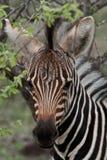 De Zebra van de baby Stock Foto's