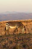 De Zebra van de berg Stock Afbeeldingen