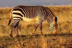 De Zebra van de berg Stock Foto