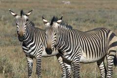 De Zebra van de berg, gestreepte hartmannae Equus Royalty-vrije Stock Afbeelding