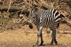 De zebra van de toelage royalty-vrije stock afbeelding
