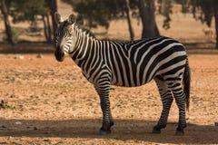 De zebra van de toelage royalty-vrije stock fotografie