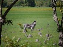 De Zebra van de toelage Stock Fotografie