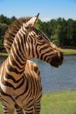 De zebra van de toelage dichtbij blauw meer Stock Fotografie