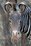 De Zebra van Grevy Royalty-vrije Stock Afbeelding