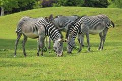 De zebra van Grevy Stock Foto's