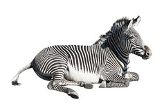 De zebra van Grevy over wit Stock Fotografie