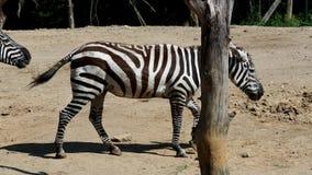 De zebra van groepsgrevy ` s stock videobeelden