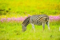 De zebra van mooie Afrikaanse Burchell in een Afrikaans spelbezwaar tijdens safari royalty-vrije stock afbeelding