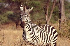 De Zebra van Tarangire Stock Afbeelding