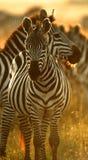 De zebra van vlaktes Royalty-vrije Stock Foto