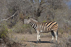 De zebra van vlaktes Stock Foto's