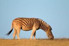 De zebra van vlaktes Royalty-vrije Stock Afbeelding