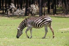 De zebra van vlaktes royalty-vrije stock foto's