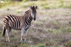 De Zebra van vlaktes (quagga Equus) Royalty-vrije Stock Afbeelding