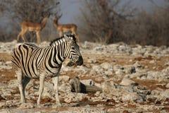 De Zebra van vlaktes (quagga Equus) Royalty-vrije Stock Afbeeldingen
