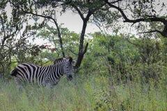De Zebra van vlaktes (quagga Equus) Stock Foto