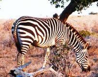 De zebra weidt Stock Afbeeldingen
