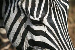 De zebra ziet eruit Royalty-vrije Stock Afbeelding