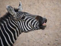 De zebra ziet eruit en glimlacht Stock Afbeeldingen