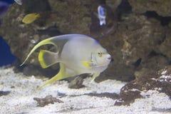 De Zeeëngel van de Bermudas stock foto