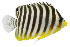 De Zeeëngel van Multibarred (multifasciatus Centropyge) royalty-vrije stock afbeelding