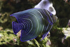 De zeeëngel van Semicirculatus royalty-vrije stock foto