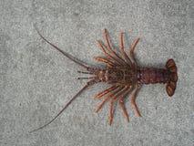 De zeekreeft van de spineyrots van rivierkreeften Stock Foto
