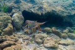 De zeekreeft van Panulirusargus stock afbeeldingen