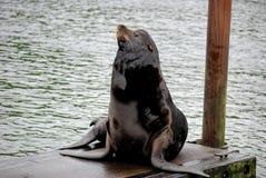 De Zeeleeuw die van Californië bij het dok rust Royalty-vrije Stock Foto's
