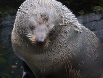 De zeeleeuw die van Californi? uit de wereld bekijkt stock foto's