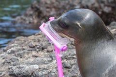 De zeeleeuw met masker en snorkelt Royalty-vrije Stock Foto's