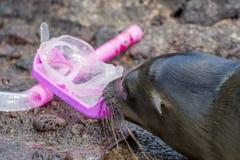 De zeeleeuw met masker en snorkelt stock foto