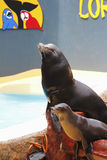 De zeeleeuw toont Royalty-vrije Stock Foto