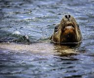 De zeeleeuw van Californië royalty-vrije stock afbeeldingen