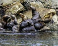 De zeeleeuw van Californië royalty-vrije stock fotografie