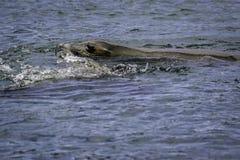 De zeeleeuw van Californië stock afbeeldingen