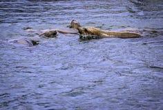De zeeleeuw van Californië stock fotografie