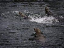 De zeeleeuw van Californië royalty-vrije stock foto