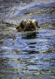 De zeeleeuw van Californië royalty-vrije stock foto's