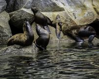 De zeeleeuw van Californië stock foto's