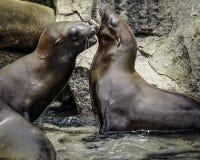 De zeeleeuw van Californië royalty-vrije stock afbeelding