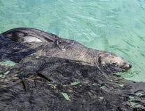 De zeeleeuw van Californië stock afbeelding