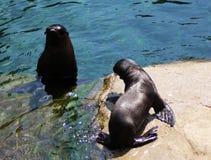 De zeeleeuw van Californië, moeder met jong Stock Fotografie