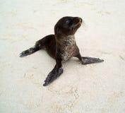 De Zeeleeuw van de baby stock afbeeldingen