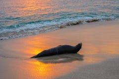 De zeeleeuw van de Galapagos bij het strand van Punta Carola, het eiland van San Cristobal, Ecuador royalty-vrije stock afbeeldingen