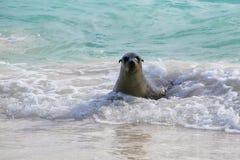 De zeeleeuw van de Galapagos het spelen in Gardner Bay op Espanola-Eiland, GA royalty-vrije stock afbeeldingen